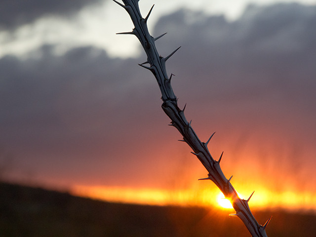 Ocotillo in Arizona at Sunset